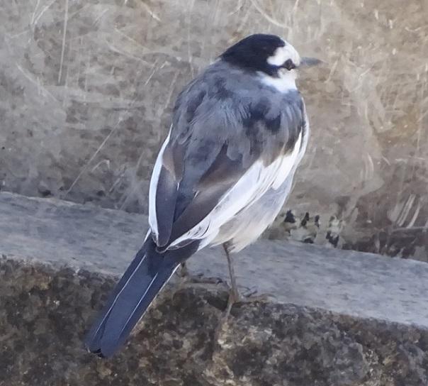 白と黒の足の速い小鳥【今日の一枚】