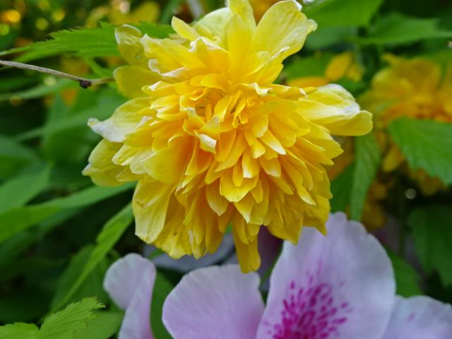小さな黄色い花、花びらが沢山。【今日の一枚】