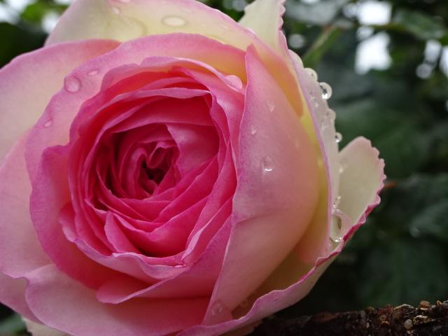 バラが素敵な【今日の一枚】