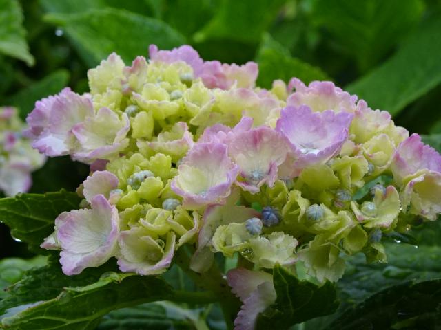 雨に濡れる紫陽花【今日の一枚】