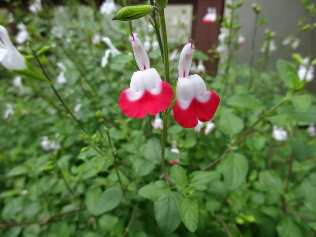 赤と白 不思議な花【今日の一枚】