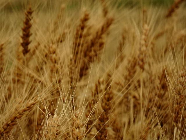 麦の風景【今日の一枚】