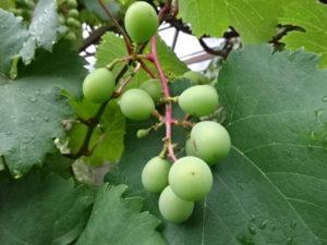 ミドリのブドウ