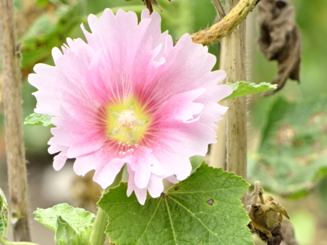ピンクの花、多分野菜だと思うんだけど。【今日の一枚】