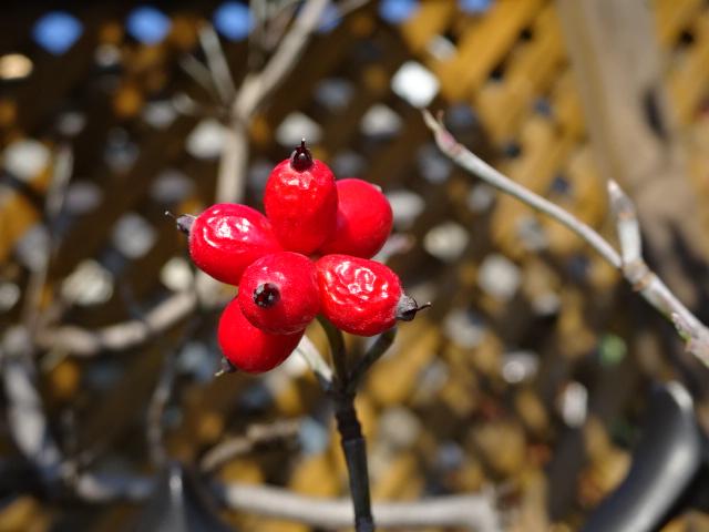 赤い実、写真を撮りながら全力散歩【今日の一枚】