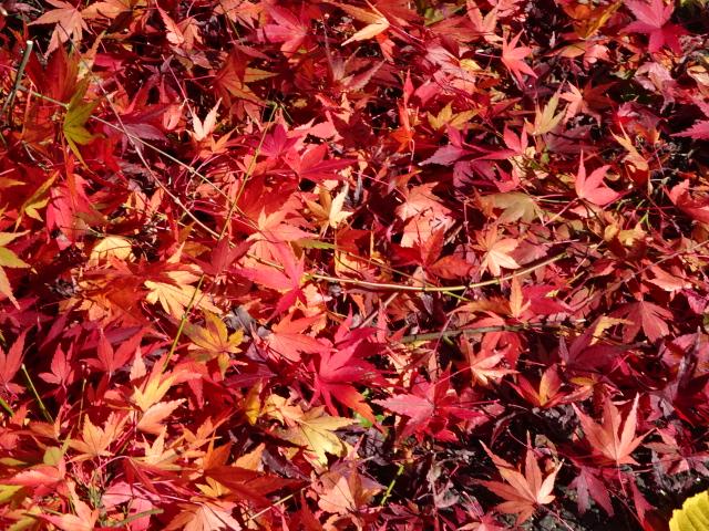 真っ赤な秋【今日の一枚】