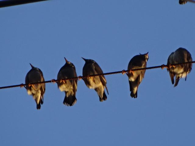 鳥 一列 今日の一枚