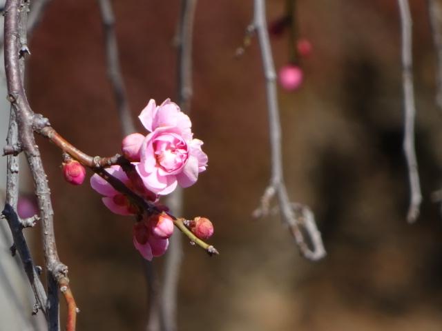 梅の季節、写真撮るのにウキウキする季節【今日の一枚】
