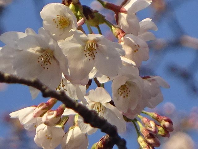 今年の桜・サクラ! 今日の一枚