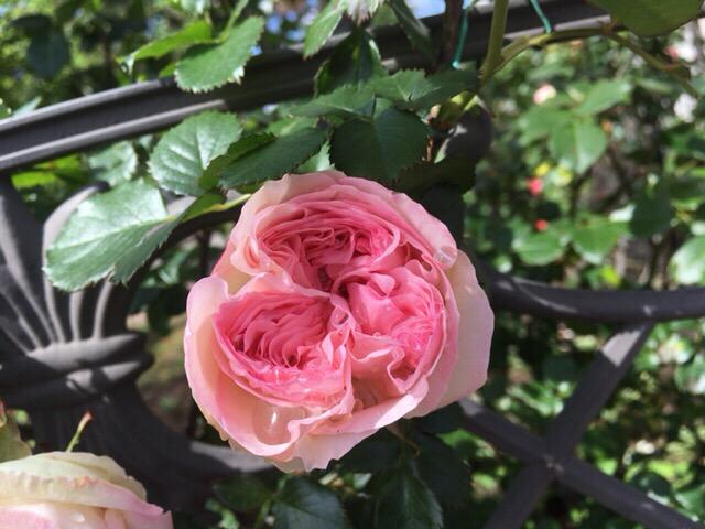 雨粒をたたえるバラ 今日の一枚