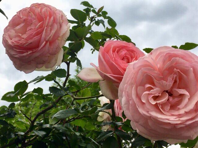 今日もバラが花盛り。 今日の一枚