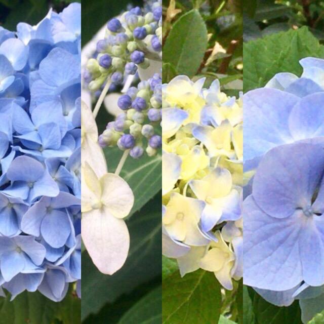 紫陽花の花 今日の一枚
