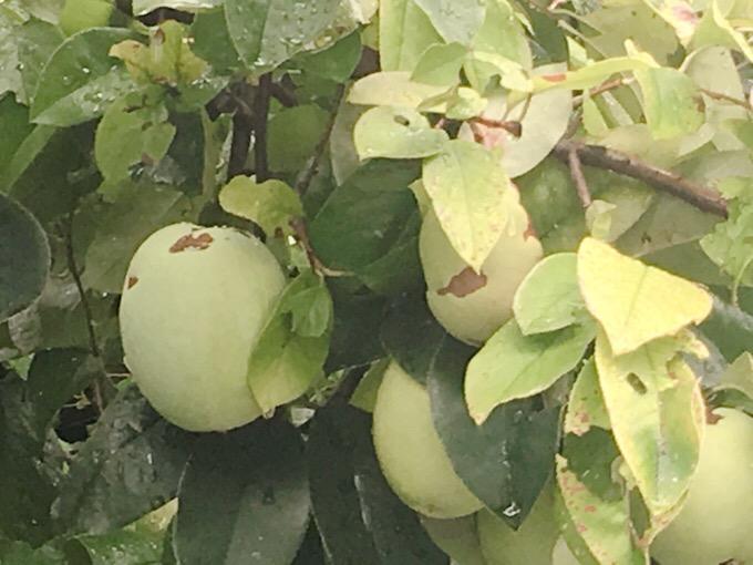 果実を見つけた。柿かなとおもったけど、グアバかな?【今日の一枚】