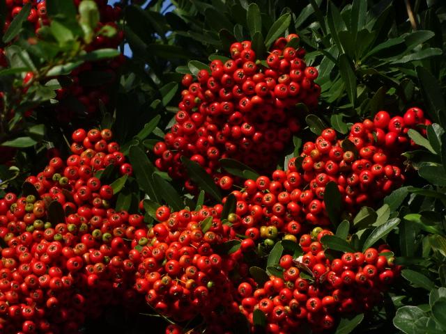 赤い実(花ではなく実)【今日の一枚】
