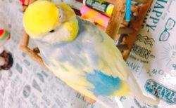 今日の小鳥もヘッドバンキングしてます、超元気だ。