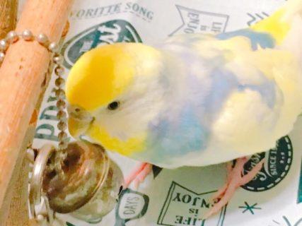 小鳥当番終了。小鳥は飼い主の足音がわかるみたいよ。