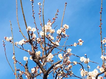 梅が咲いている。きれい。【今日の一枚】