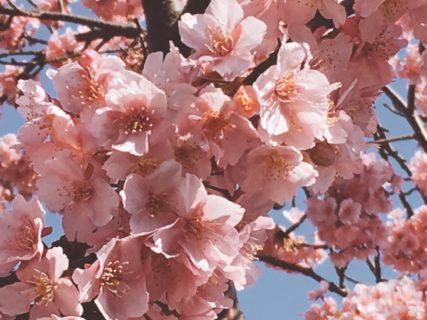 桜満開 【今日の一枚】