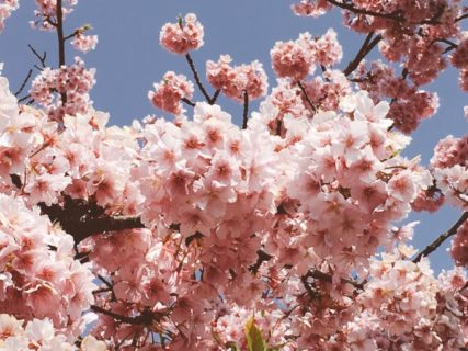 今日の桜も綺麗です【今日の一枚】
