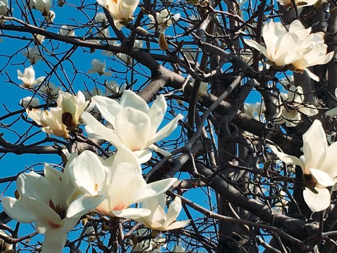 白木蓮も花盛り【今日の一枚】