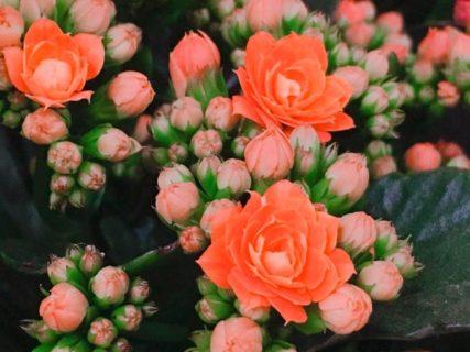 オレンジの花、つぼみが開いたらきっとすごいに違いない【今日の一枚】