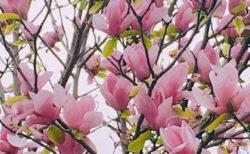 モクレン ピンクも花盛り【今日の一枚】