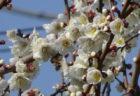 花盛りの一枚が撮れて嬉しい【今日の一枚】
