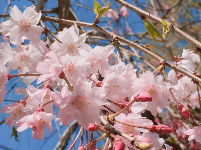 桜はさくら【今日の一枚】
