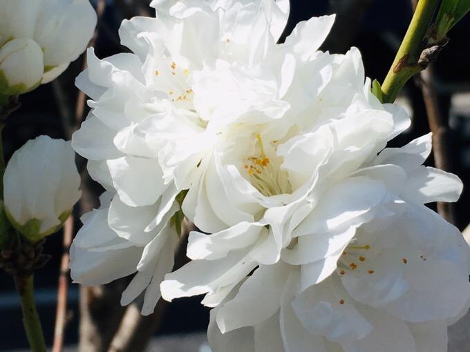 街路樹の花【今日の一枚】