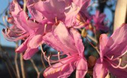 華やかなピンクと青い空【今日の一枚】