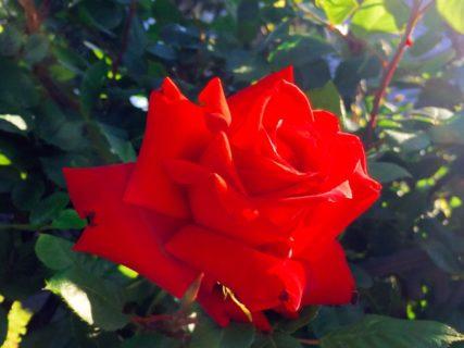 バラが咲く【今日の一枚】