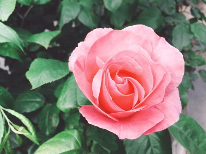 バラ・薔薇の咲く日【今日の一枚】