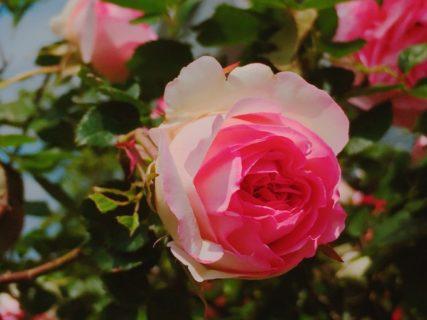 バラが咲いた。もはや満開である【今日の一枚】
