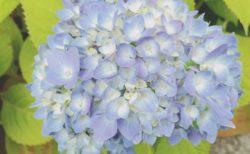 紫陽花の花、そろそろお目見え【今日の一枚】