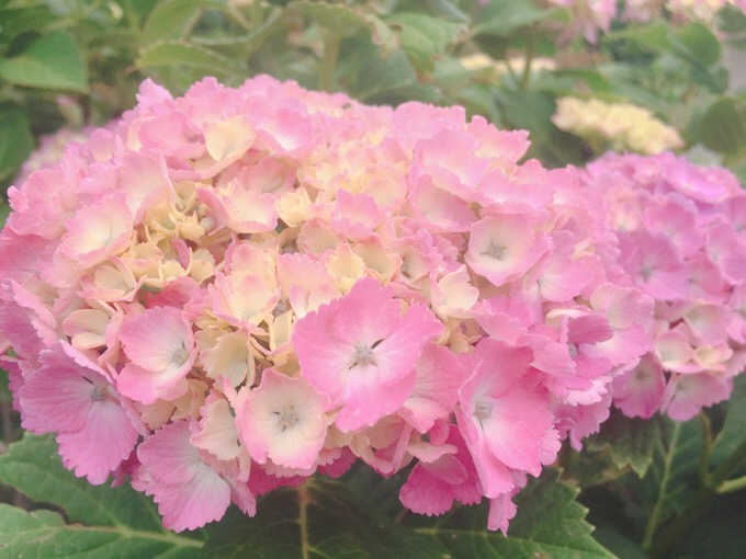 紫陽花・あじさい 咲いてます【今日の一枚】