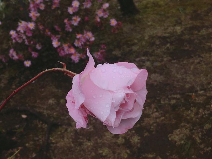 雨に濡れるピンクローズ【今日の一枚】
