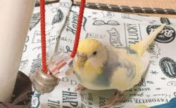 小鳥はとっても鈴が好き【今日の小鳥当番】