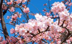 桜が咲く2月。春ですか?【今日の一枚】