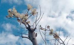 モクレンの花【今日の一枚】