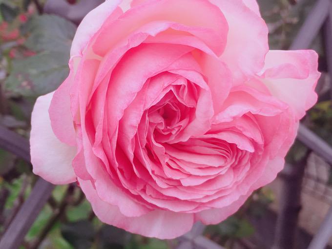 薔薇の季節ですね?【今日の一枚】