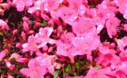 【今日の一枚】 水玉をまとったツツジっぽい花