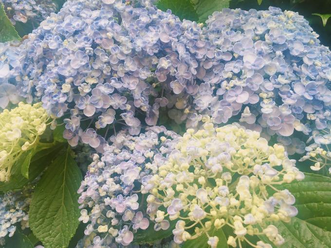梅雨の季節の紫陽花【今日の一枚】