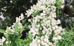 今日の一枚 白い花たくさん