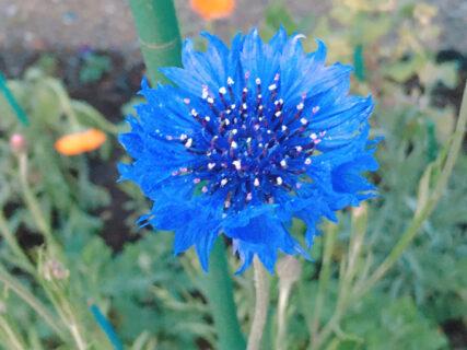 【今日の一枚】帰り道の青い花。名前は知らない。