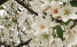 【今日の一枚】もうすぐ散りそうな満開の桜。これが私の今年の花見だ。