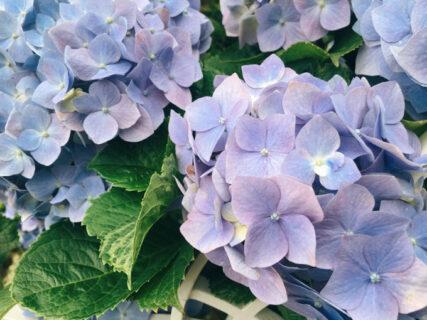紫陽花の季節になってきましたね【今日の一枚】